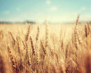 Fototapete «Wheat Field» DD115142